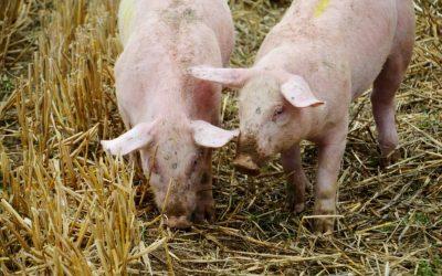 Avviare un piccolo allevamento di maiali? Segui i consigli dell'esperto!
