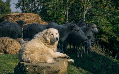 Il cane pastore, per condurre e proteggere gli altri animali