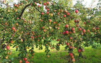 Ecco perché alcune piante da frutto non producono costantemente ogni anno