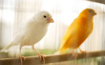 Il canarino: un compagno dolce, discreto e canterino