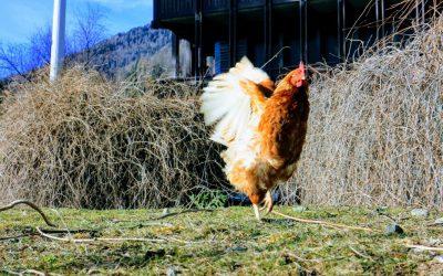 Uova fresche tutti i giorni da due galline
